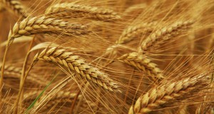Семена элиты озимой пшеницы