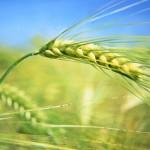 Семена пшеницы, семена овса