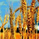Услуги по переработке пшеницы